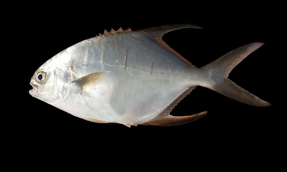Паломета (масляная рыба)