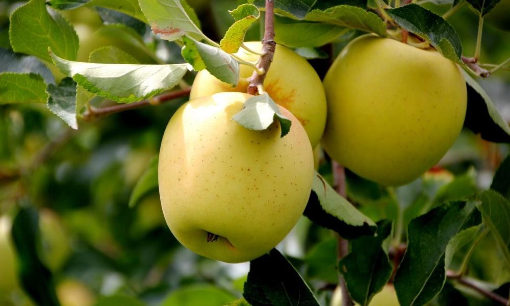 Яблоки «Гольден делишес»