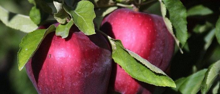 Яблоки «Ред делишес»