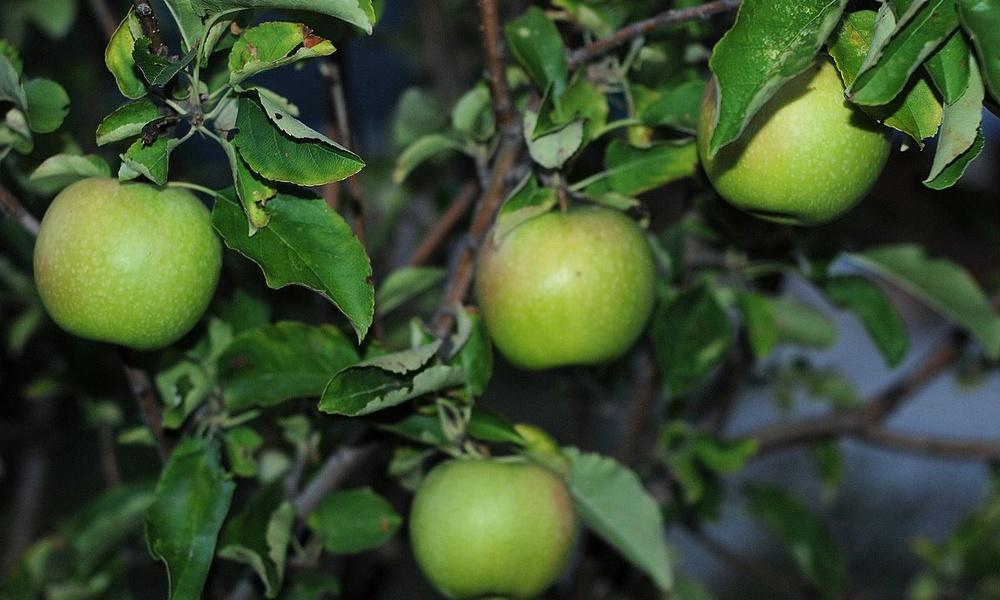 Яблоки «Гранни смит»